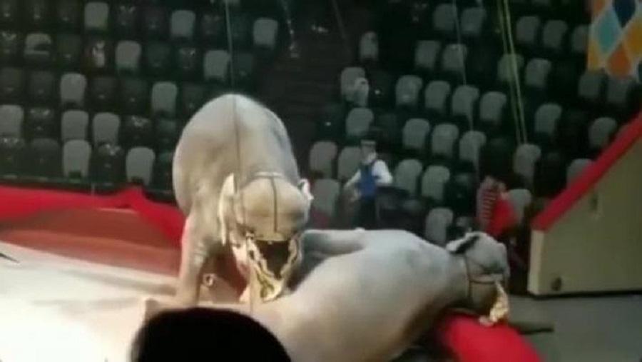 слон напал на рабочего